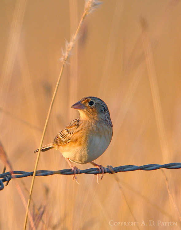 Grasshopper sparrow in November