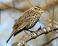 Adult female red-winged blackbird