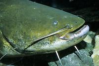 Europäische Wels, Flusswels, Waller, Schaidfisch, Silurus glanis, wels catfish, sheatfish