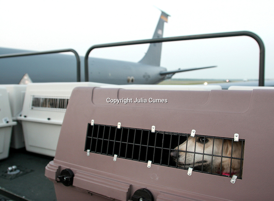 A dog rescued after Hurricane Katrina  waits to be loaded onto a military airplane at the U.S. Natal Air Station in New Orleans, LA.  The dogs were flown to Arizona.  9/19/05 Julia Cumes
