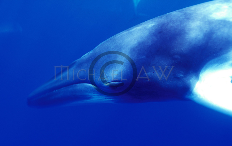 "Minke Whale, subspecies of Balaenoptera acutorostrata, The dwarf minke whale (B. acutorostrata subspecies) has no population estimate, and its conservation status is categorised as ""data deficient. Great Barrier Reef"