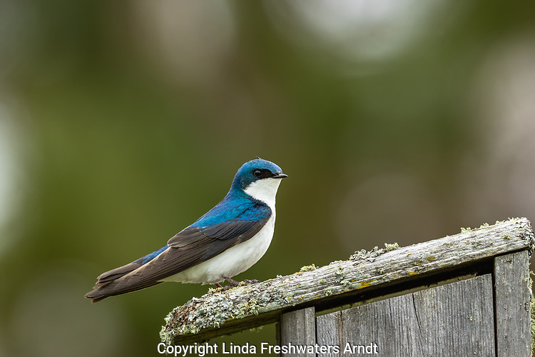 Tree swallow in spring