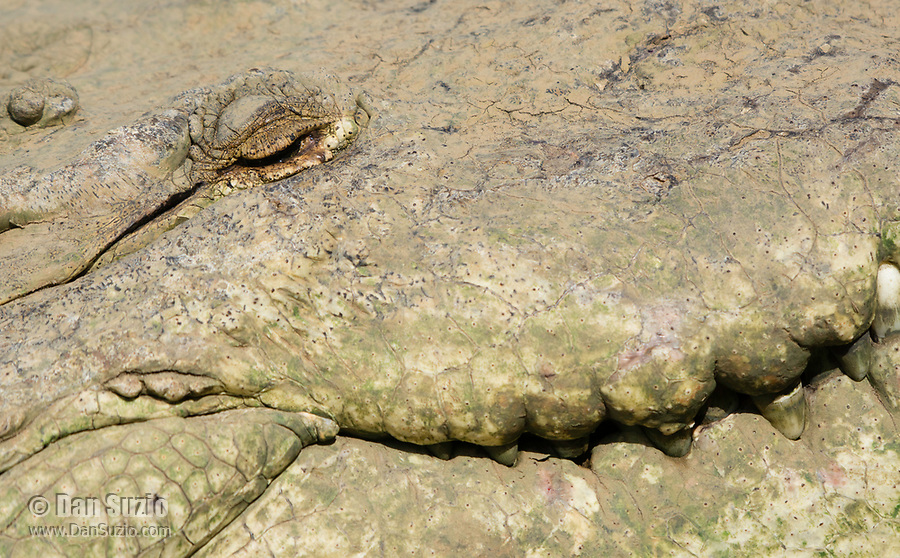 Close-up of the face of an American Crocodile, Crocodylus acutus, basking beside the Tarcoles River, Costa Rica. Listed as Vulnerable in the IUCN Red List of Threatened Species.