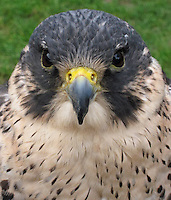 Peregrine Falcon portrait [captive], Portmeirion, North Wales