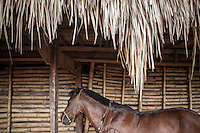 A sandalwood horse, used for Pasola, is tied to a Sumba traditional house at the village of Wainyapu. Pasola, the mock warfare between two villages, is held annually within the western region of the remote Indonesian island of Sumba. There will be blood, but in the hope for a good upcoming harvest, Sumbanese sees any bloodshed as a good sign.