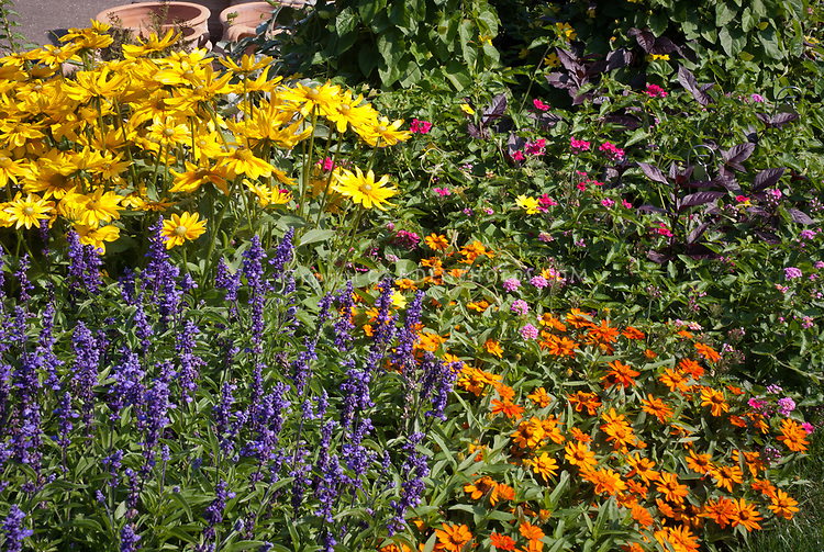 Rudbeckia, Zinnia Profusion Orange, Salvia farinacea, phlox, thunbergia clock vine, lantana, verbena, Mixed Annual flowers garden to attract pollinators, small garden