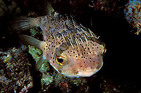 spiny porcupinefish, Diodon holocanthus, Kona, Big Island, Hawaii, Pacific Ocean