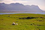 Sheep Enjoying Lava Field along the Budir Coast in West Iceland
