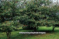 63808-02310 Washington Hawthorn Trees (Crataegus phaenopyrum)  with berries in late summer  Marion Co. IL