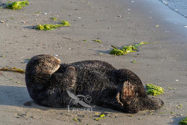Southern Sea Otter (Enhydra lutris nereis) resting on sandy beach.  California.