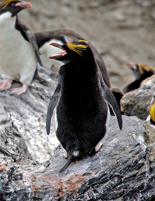 Macaroni penguin calling while standing on a rock in South Georgia