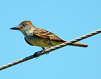 Adult brown-crested flycatcher