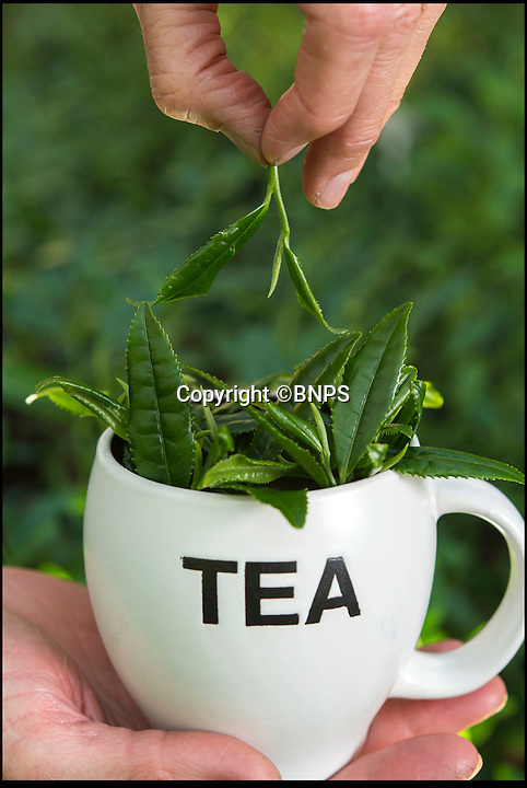 BNPS.co.uk (01202 558833)<br /> Pic: PhilYeomans/BNPS<br /> <br /> Only the top three leaves are picked.<br /> <br /> Food miles craze reaches the traditional British cuppa...<br /> <br /> More and more Brits are growing tea in their own gardens in the quest for the ultimate  'homegrown' cuppa.<br /> <br /> With the 'grow your own' movement still in full swing, sales of Camellia sinensis - the common tea plant - are rocketing as gardeners realise it thrives in the UK's climate.<br /> <br /> Contrary to popular belief, tea plants don't require heat and humidity to grow, rather preferring temperate regions with plenty of moisture.<br /> <br /> The UK already boasts two tea plantations - one in Cornwall and the other in the Scottish Highlands - with a third planned for Northern Ireland.<br /> <br /> But now domestic gardeners are catching on to the idea of an on-demand supply of tea from their back gardens, and creating their own 'mini plantations' at home.<br /> <br /> And just like in traditional tea-growing countries like China and Africa, the young leaves of UK-grown plants can be picked in spring and used straight away to make green tea or dried to make regular black tea.