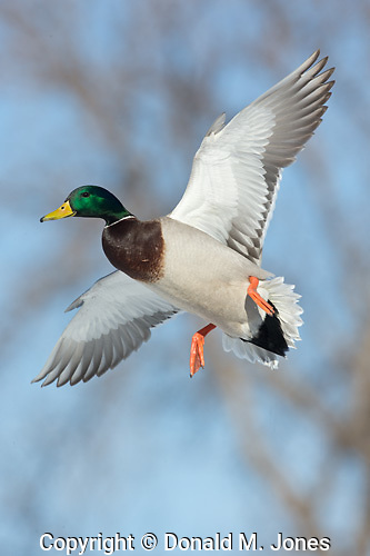 Mallard (Anas platyhynchos) Drake-male in flight, Central Montana.