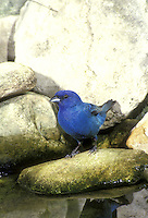 Indigo bunting, Passerina cyanea, on rock in garden pool, Missouri USA