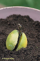HS69-022x  Asexual reproduction - avocado seed placed in soil after developing roots in water - see HS69-019x