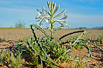 Desert Lily, Hesperocallis undulata, a common desert plant.