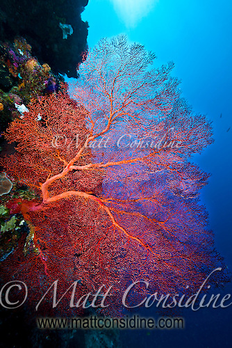 Fantastic but fragile fan coral on wall, Palau Micronesia. (Photo by Matt Considine - Images of Asia Collection) (Matt Considine)