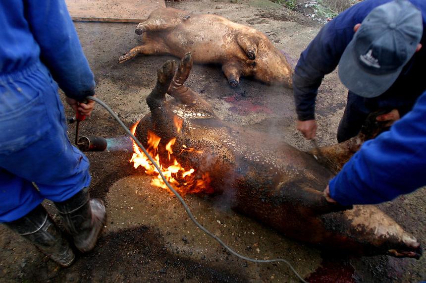 Traditional pig slaughter, Alba de Tormes, Spain, December, 2002.