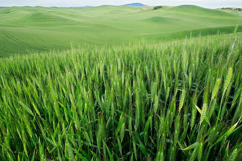 Large field of wheat. The Palouse near Colfax, Washington