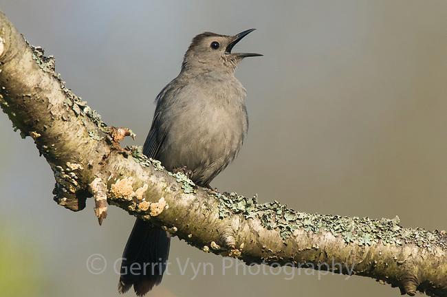 Gray Catbird (Dumetella carolinensis) singing in spring. Tompkins County, New York. May.