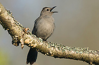 Gray Catbird (Dumetella carolinensis) singing in spring. Tompkins County, New York. May.