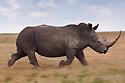Kenya, Solio Reserve, white rhinoceros running in savannah, motion blur, side view