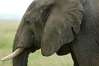A large female elephant in profile. The Serengeti National Park, Tanzania.