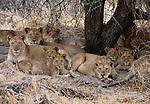 African lions, Okavango Delta, Botswana