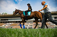 SHA TIN,HONG KONG-MAY 05: Convey,trained by Sir Michael Stoute,prepares for the Champions Mile at Sha Tin Racecourse on May 5,2017 in Sha Tin,New Territories,Hong Kong (Photo by Kaz Ishida/Eclipse Sportswire/Getty Images)