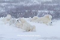 01874-13207 Polar Bears (Ursus maritimus) during snowstorm Churchill Wildlife Management Area, Churchill, MB