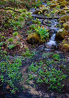 Marsh Marigolds grow in wet places like alongside this small stream at Baxter's Hollow State Nature Preserve in Sauk County, Wisconsin