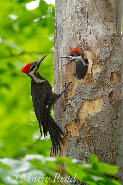 Pileated Woodpecker (Dryocopus pileatus), adult female outside nest hole where large nestling looks out begging to be fed, New York, USA