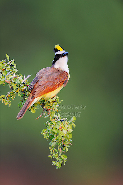 Great Kiskadee (Pitangus sulphuratus), adult displaying, Dinero, Lake Corpus Christi, South Texas, USA