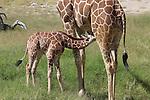 reticulated giraffe nursing