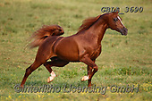 Bob, ANIMALS, REALISTISCHE TIERE, ANIMALES REALISTICOS, horses, photos+++++,GBLA3690,#a#, EVERYDAY