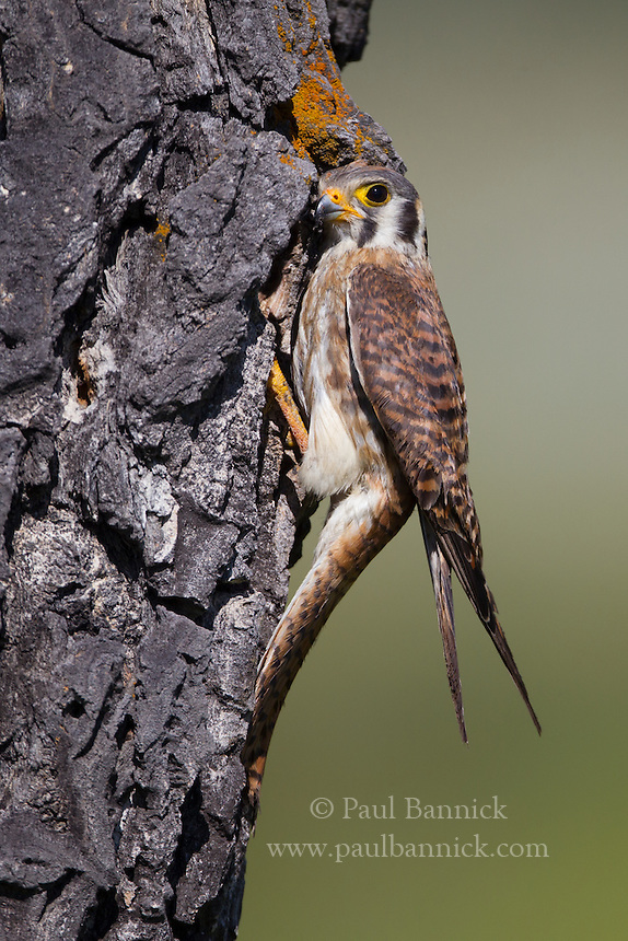 A female American Kestrel pauses at her cavity after delivering prey to her young.