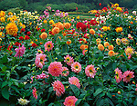 Shore Acres State Park, OR   <br /> A variety of colorful dahlias are mixed in one of the formal garden beds of Shore Acres State Park