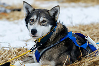 A Seth Barnes dog rests at the Kaltag checkpoint on Sunday afternoon March 10th during the 2019 Iditarod Trail Sled Dog Race.<br /> <br /> Photo by Jeff Schultz/  (C) 2019  ALL RIGHTS RESERVED