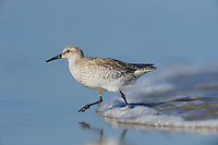 Red Knot (Calidris canutus), adult running, Port Aransas, Mustang Island, Texas Coast, USA