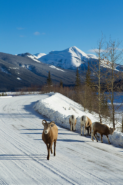 Big Horn Sheep on the road in Jasper National Park, Alberta Canada, on Jan 30, 2011.  Photo by Gus Curtis