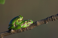 Common Tree Frog, Hyla arborea, adult resting, National Park Lake Neusiedl, Burgenland, Austria, Europe