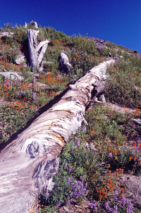 Toppled Trees, Common Red Paintbrush and Broadleaf Lupine, Mt. St. Helens National Volcanic Monument, Washington, US