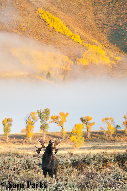 Bull moose exhibiting flehmen response during the rut. Grand Teton National Park, Wyoming.