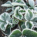 Autumn hoar frost on strawberry leaves, October.