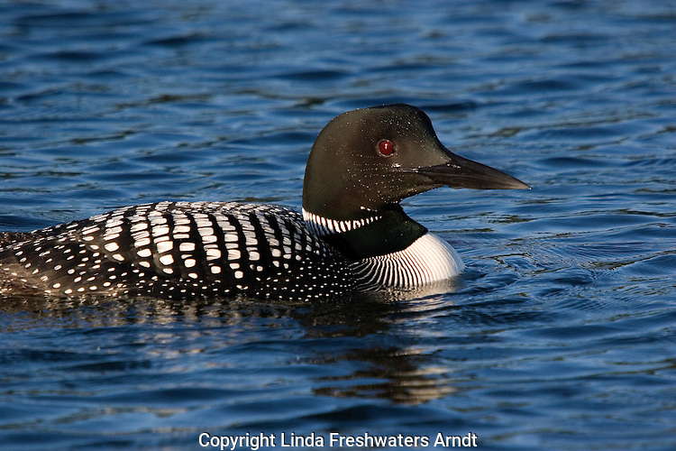 Common loon (Gavia immer) swimming in a northern lake.  Summer.  Winter, WI.