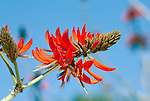 1499-CA Erythrina coralloides, Naked Coral Tree