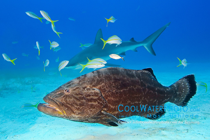 Black Grouper, Mycteroperca bonaci, Caribbean Reef Shark, Carcharhinus perezi, and Yellowtail Snappers, Ocyurus chrysurus, West End, Grand Bahamas, Atlantic Ocean