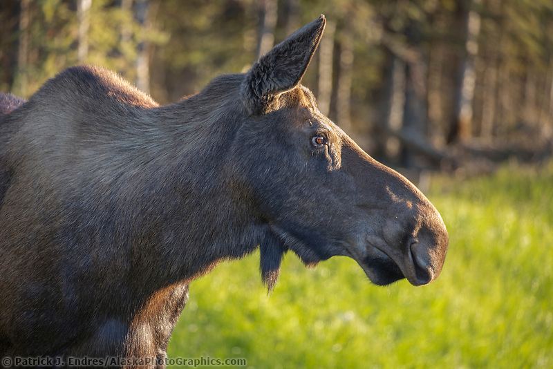 Portrait of a female moose, Interior, Alaska.