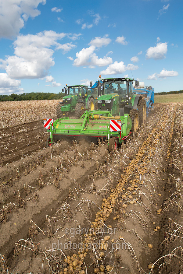 Harvesting windrowed potatoes with a Standen T3 - Lincolnshire, September